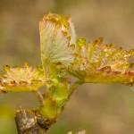 feuilles de vigne en macro - photo Alain Marquina