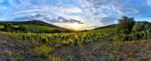 Vignoble de Frontignan - photo Alain Marquina